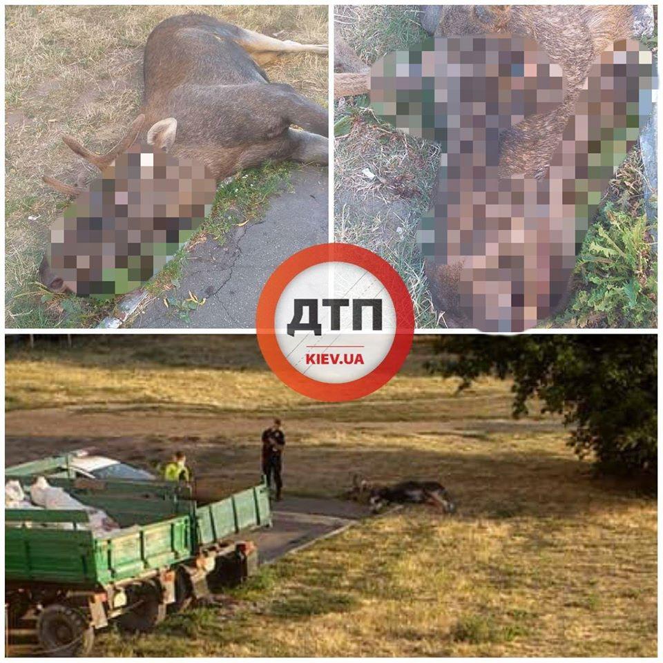 В Киеве сбили лося, который был звездой соцсетей