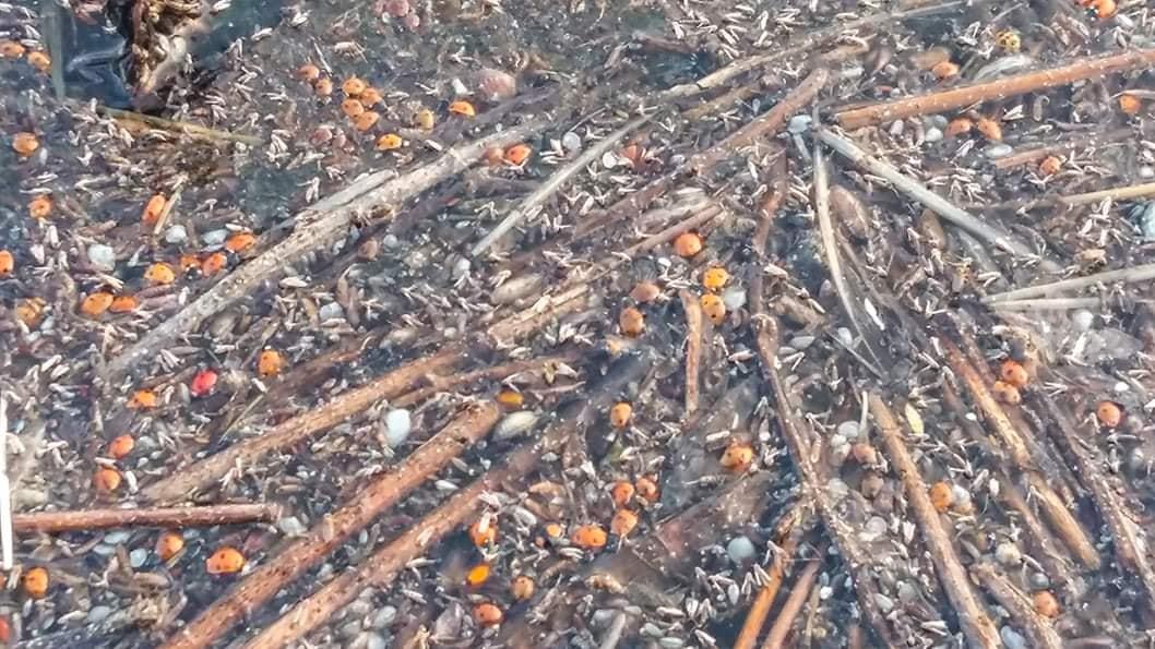 У заповіднику під Одесою загинули майже 2 мільйони сонечок: що сталося (фото)