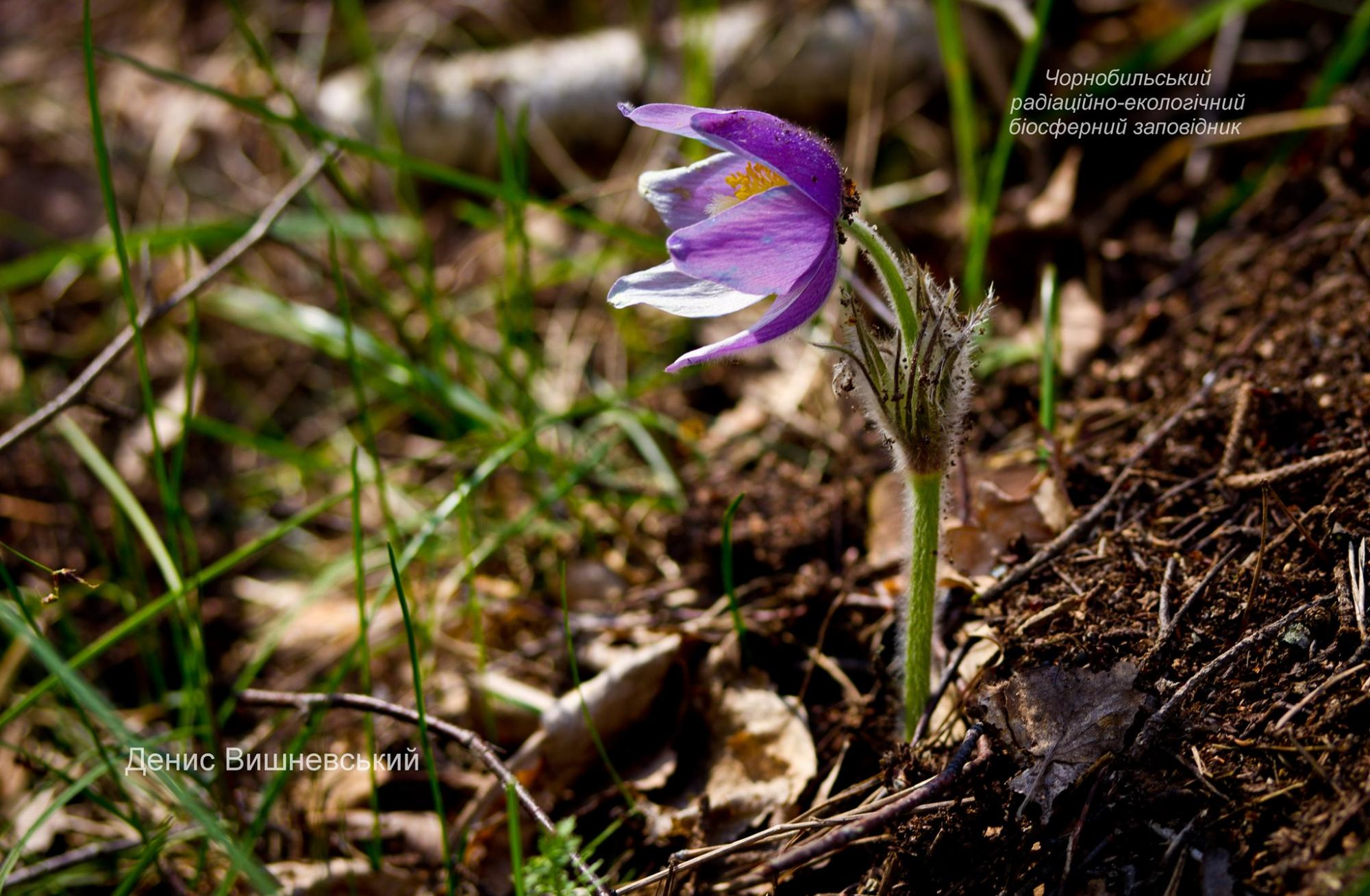 У Чорнобильській зоні знайдені рідкісні квіти: їх краса заворожує