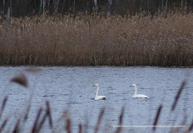 Аномальная зима в Чернобыле: появились фото уникальных животных