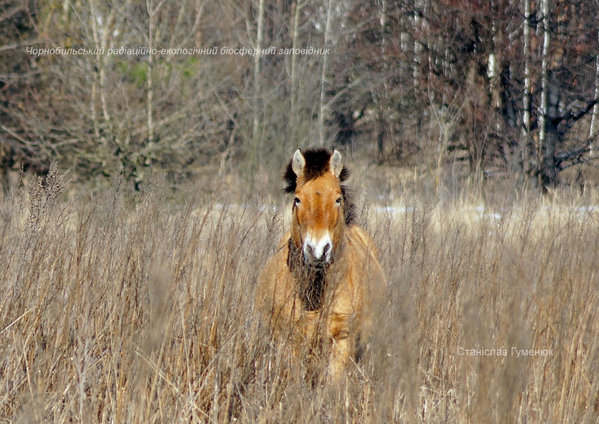 У Чорнобилі покрасувалися перед камерою зниклі тварини