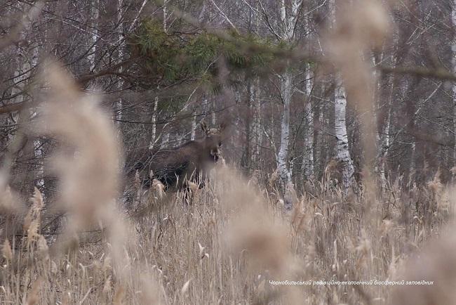 Чернобыльская аномальная зима: появились впечатляющие фото животных
