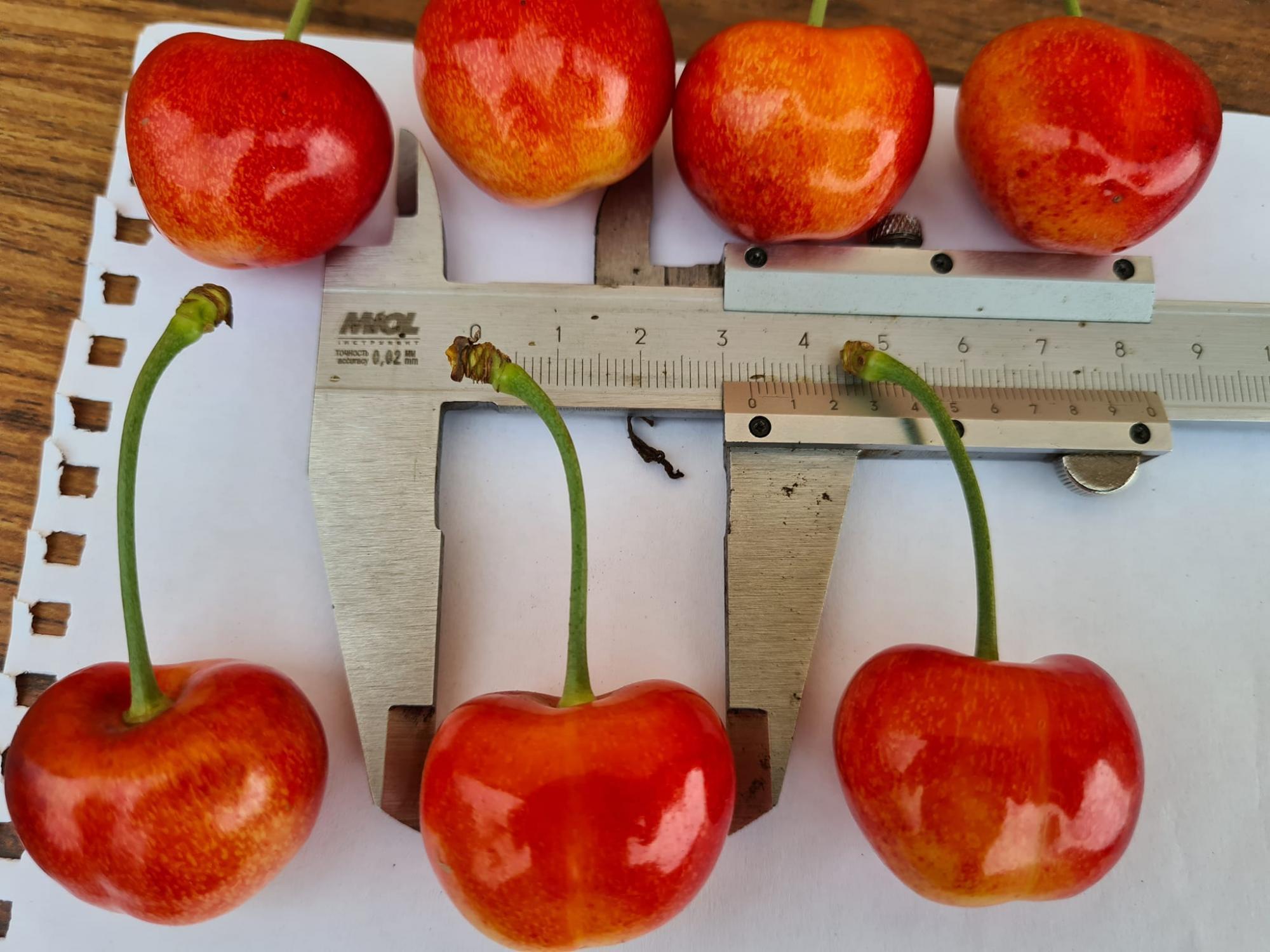 Украинские фермеры вырастили черешню рекордных размеров: фото ягоды-гиганта