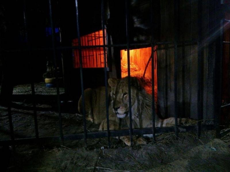 Назапорожца вбанном комплексе напал лев