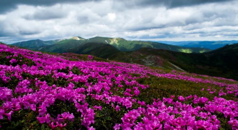 Аномальное цветение неожиданно накрыло Карпаты