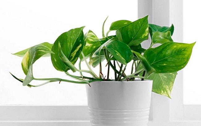 Ці кімнатні рослини приносять в будинок багатство