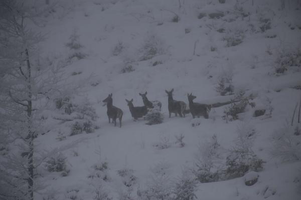 """У засніжених Карпатах на схилі """"засікли"""" сім'ю рідкісних лісових мешканців (фото)"""