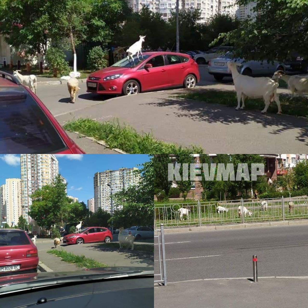 В Киеве козы гуляли посреди улицы: одна взобралась на крышу авто (фото)