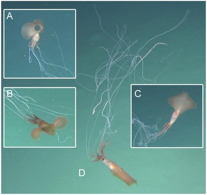 В глубинах океана нашли гигантское существо с 8-метровыми щупальцами (видео)