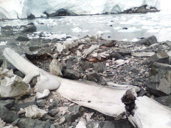 Украинцы нашли в Антарктиде останки гигантского животного тысячелетней давности