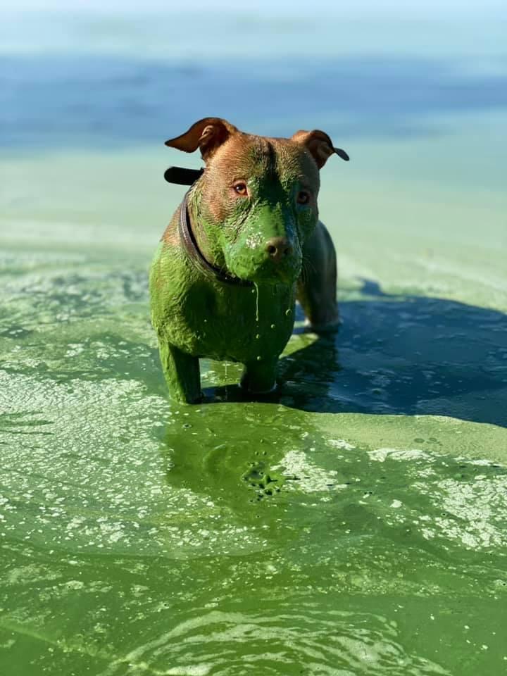 Після купання в Дніпрі рудий пес став повністю зеленим: вражаючі фото