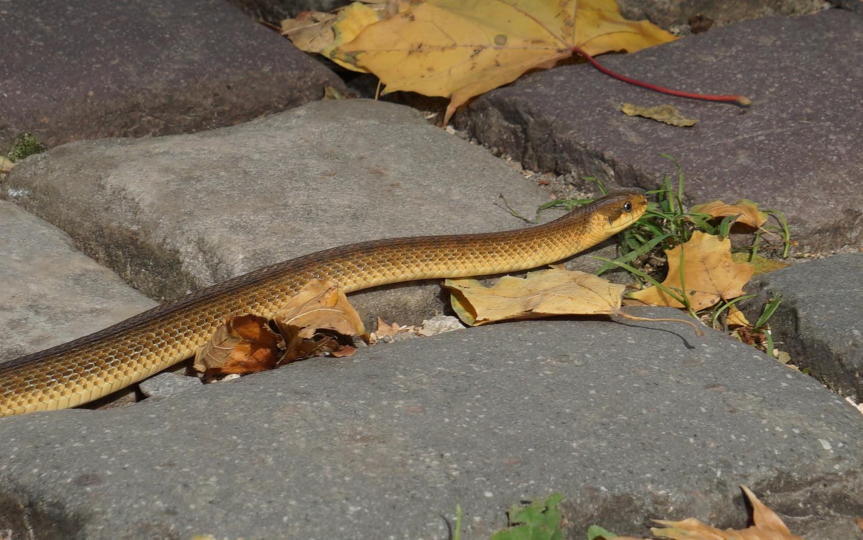 Во Львове в парке заметили редкую краснокнижную змею: попала в город из Карпат (фото)