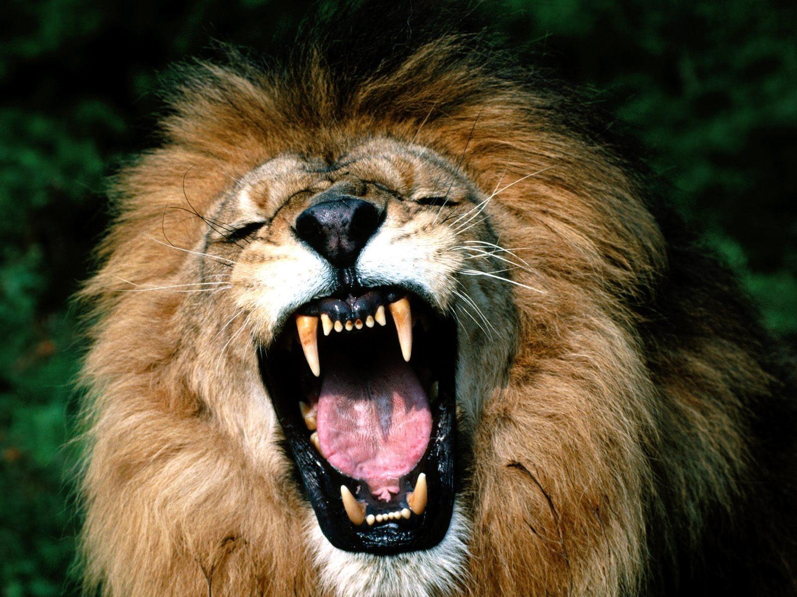 На Львовщине лев напал на людей
