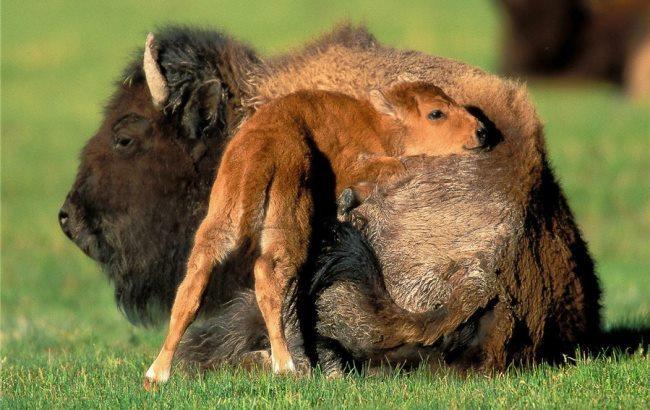 Фото: Зубр со своим малышом