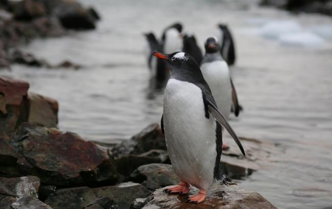 """Фото: Пингвины (ТРК """"Украина"""")"""