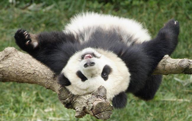 Панды больше непод угрозой исчезновения— Фонд дикой природы