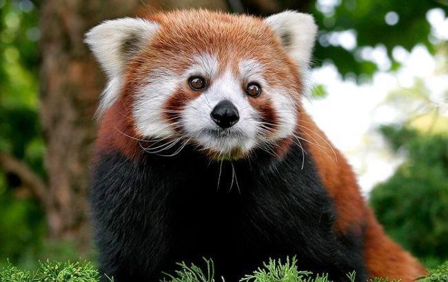 Фото: Красная панда
