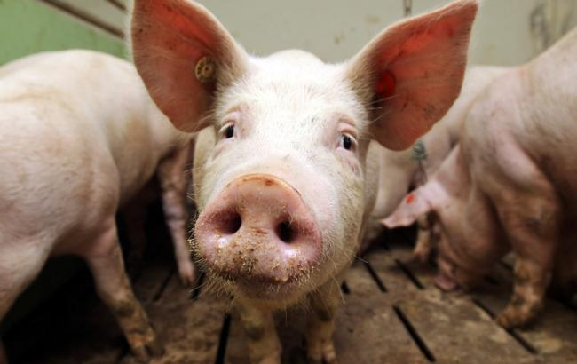 Фото: в Одесской и Кировоградской областях от АЧС гибнут свиньи