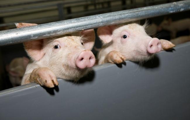 Вчетырех областях Украинского государства зафиксировали вспышки чумы, поражающей свиней