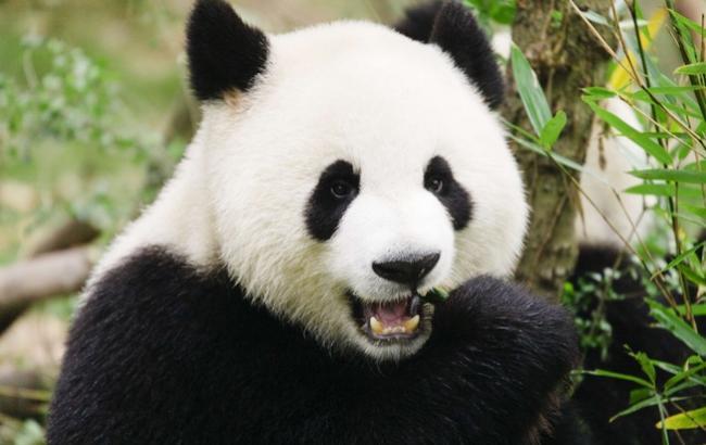 Фото: Велика панда (365news.biz)