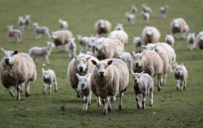 Фото: У Києві самостійно выгуливаются вівці і кози (timeskz.kz)
