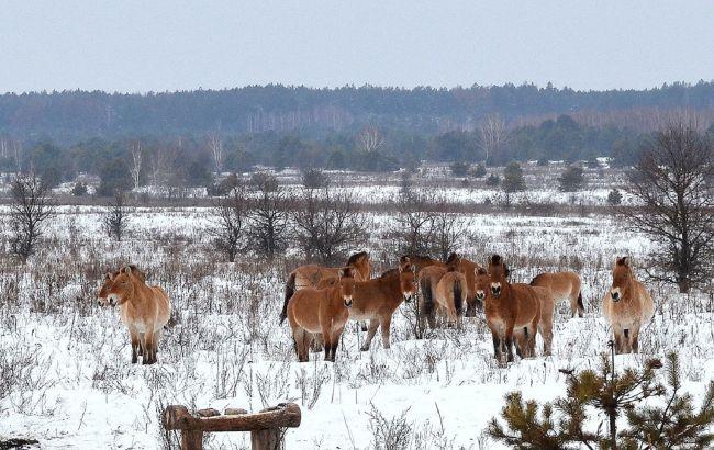 Як тварини в Чорнобилі пережили зиму: фото із заповідника