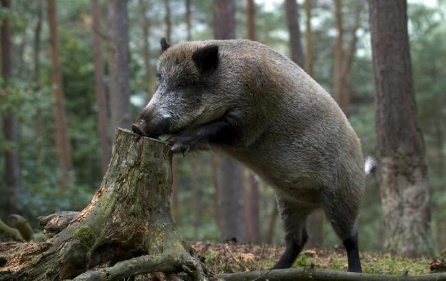 ВОдесской области зафиксирован очередной случай африканской чумы свиней