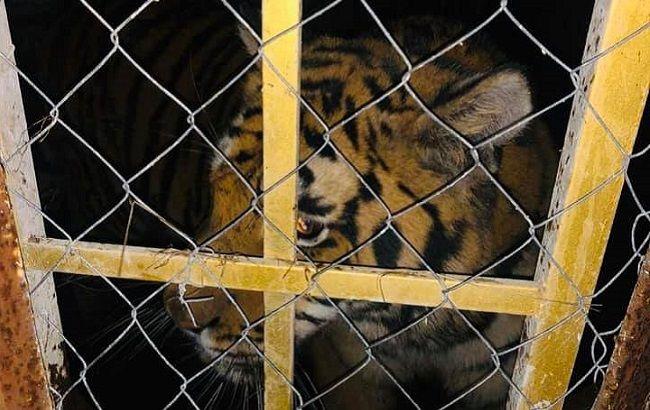 В Киеве нашли шесть брошенных тигров: хозяин оставил умирать (фото)