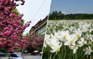 """Долини крокусів і нарцисів: найяскравіші локації для """"квіткових"""" турів у квітні"""