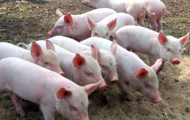 Под Харьковом— вспышка африканской чумы свиней. Объявлен карантин