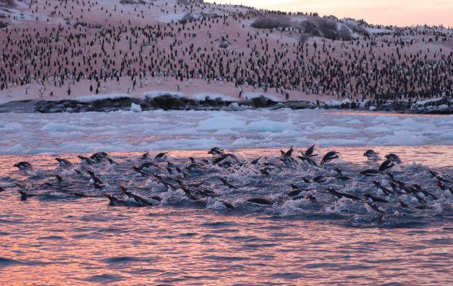 Возле украинской станции на Антарктиде рекордные скопления пингвинов