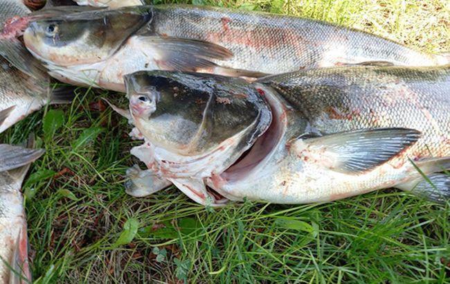 У плотины ДнепроГЭС массово погибла рыба