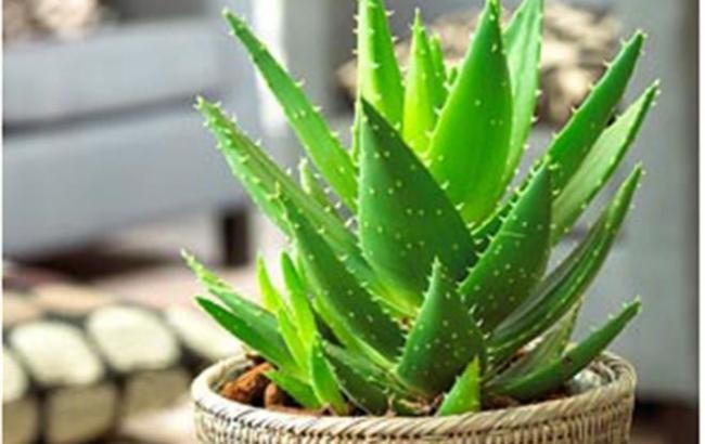Фото: Кімнатні рослини