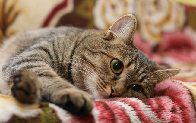 домашній кіт