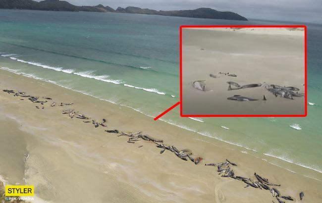 В новейшей  Зеландии практически  150 дельфинов выбросились наберег