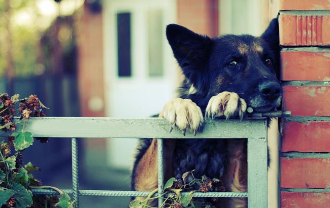 Фото: Собака за тином (pt.forwallpaper.com)