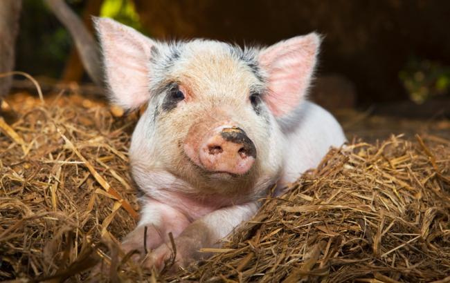 Фото: спалах африканської чуми свиней зафіксовано в Полтавській області