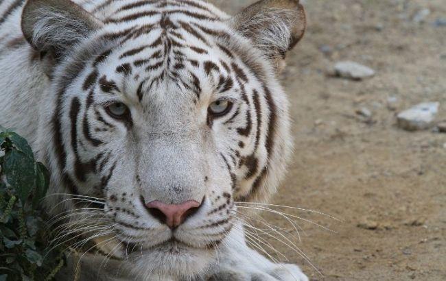 В центре Тбилиси проводится операция по обезвреживанию еще одного тигра