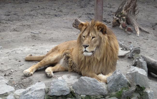 У Таїланді 180-кілограмовий лев накинувся на туриста