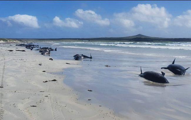 У Новій Зеландії на берег викинулися близько 50 чорних дельфінів. Дев'ять загинули