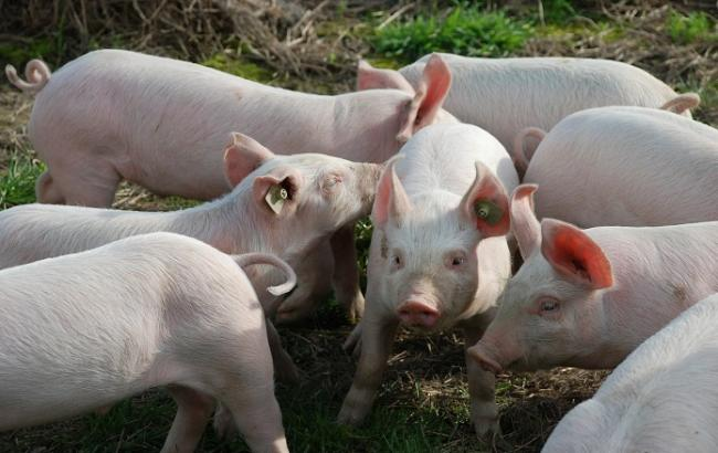 Беларусь ограничила ввоз украинской свинины