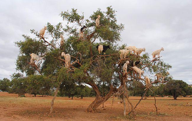 Козы на деревьях - обычное явление в Марокко