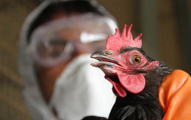 Україна заборонила ввезення птиці з Великобританії, Нідерландів та Німеччини через пташиний грип