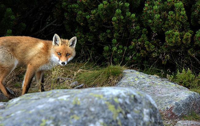 Поліцейські Маріуполя зупинили скажену лисицю