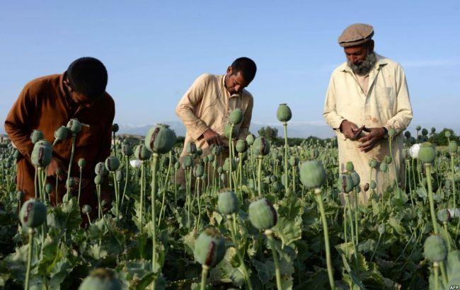 Фото: врожайність вирощування опійного маку в Афганістані зросла на 30%