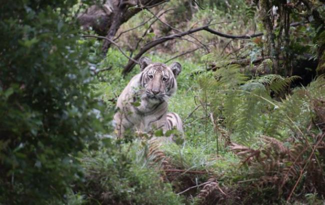 """Фото: """"Бледный"""" тигр (24tv.ua)"""