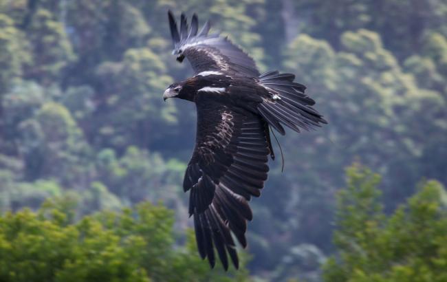 Фото: Клинохвостый орел (takefon.com)