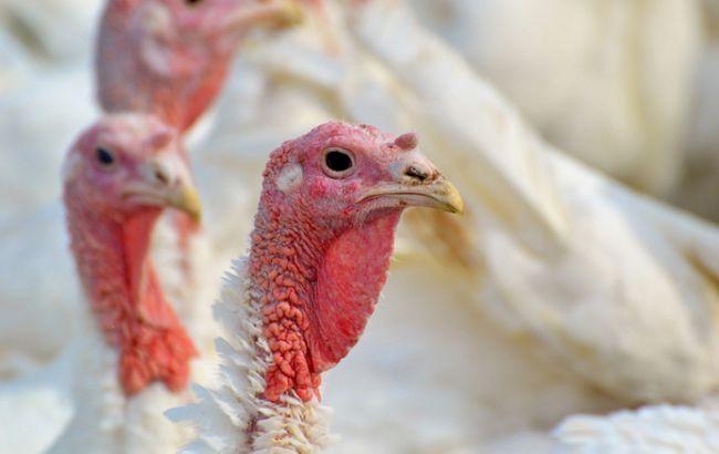В Польше зафиксирована вспышка птичьего гриппа на индюшиных фермах