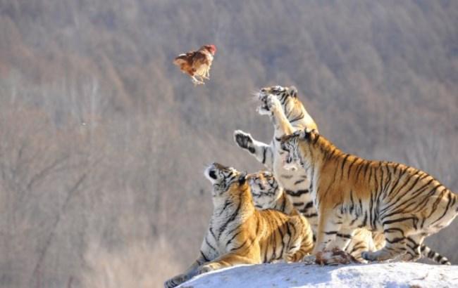 Фото: Тигри
