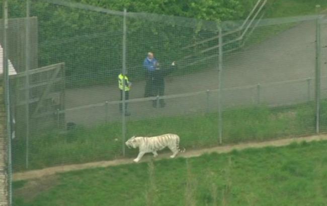 В Британии тигр напал на сотрудницу зоопарка